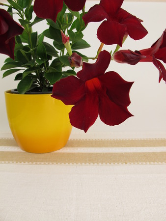 dipladenia: piani di pianta d'appartamento e balcone fiorito Dipladenia