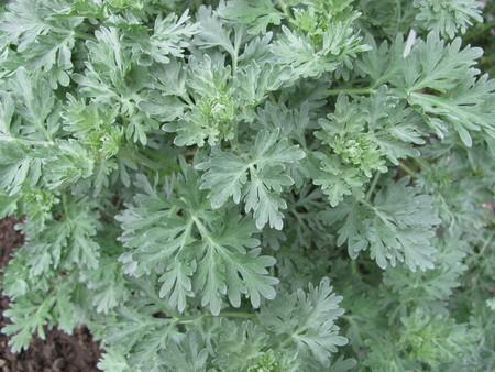 ajenjo: ajenjo ajenjo, Artemisia absinthium