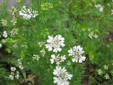 coriandrum sativum: Flowering coriander, Coriandrum sativum Stock Photo