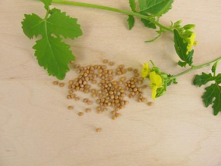 mustard leaf: Flowering mustard and mustard seeds Stock Photo