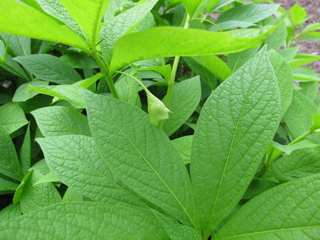 Henbane bell, Scopolia carniolica Stock Photo