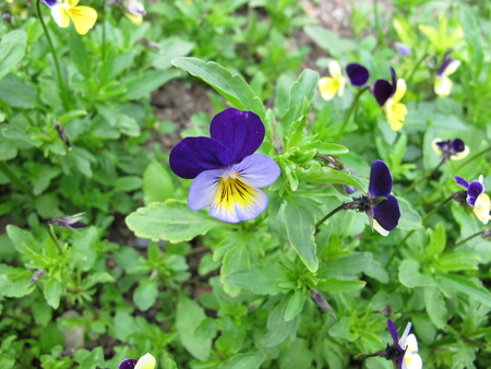 Heartsease with flowers, Viola tricolor