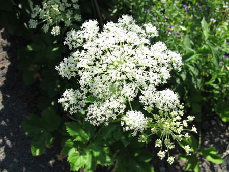 Flowering masterwort, Peucedanum ostruthium