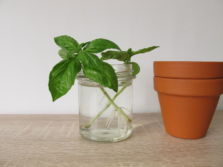 Regrow basil in a glass of water Stockfoto