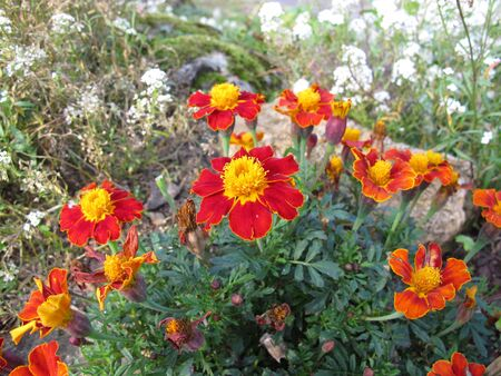 Signet marigold, Tagetes tenuifolia, with flowers in red and yellow