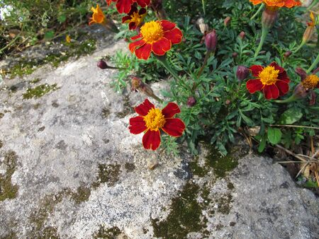 Signet marigold, Tagetes tenuifolia, with flowers in red and yellow 스톡 콘텐츠 - 130814438