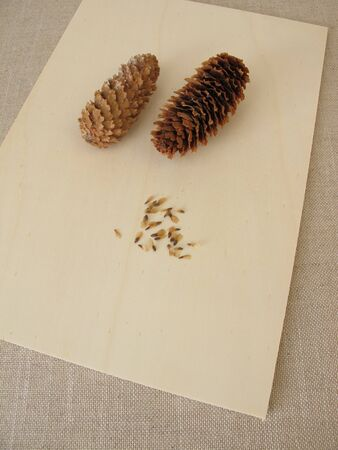 Cones and seeds of the blue spruce on a wooden board