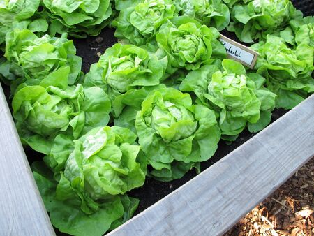 Green cabbage lettuce in a wooden raised garden made of wood
