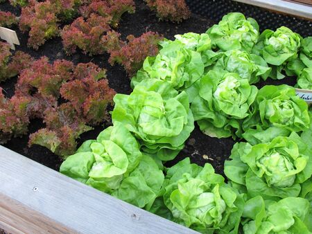 Green cabbage lettuce and red lollo rossa in a raised garden bed made of wood