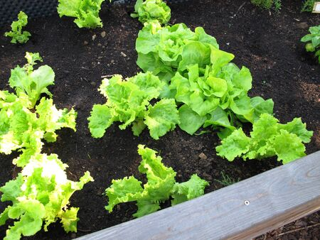 Leaf lettuce in a raised garden bed made of wood