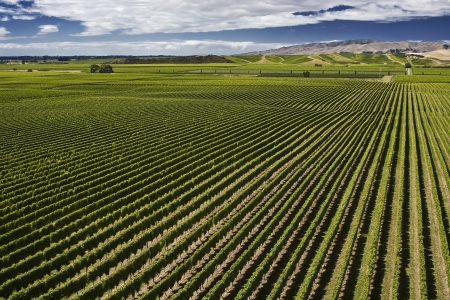 Vineyard in Brancott Valley, Marlborough, South Island, New Zealand, with view of hills and dramatic sky photo