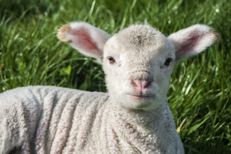 A young, white lamb sitting on its own in green grass  Shot in Marlborough, New Zealand  photo