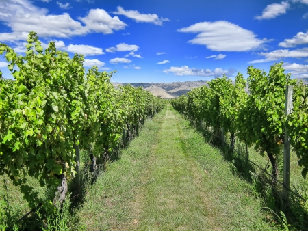 New Zealand Vineyard  Photo shows rows of Pinot Noir vines, shot before harvest  Marlborough, New Zealand  photo