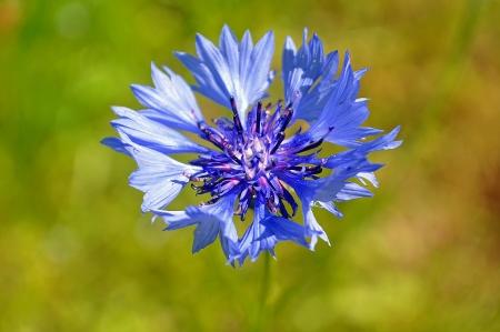 centaurea: Flower Centaurea cyanus