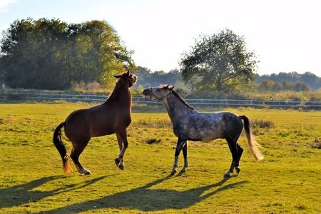 fenced in: horses Stock Photo