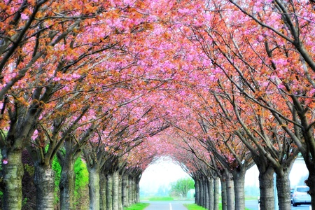 avenues:  cherry blossoms Stock Photo
