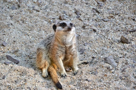Meerkats Stock Photo - 13527254