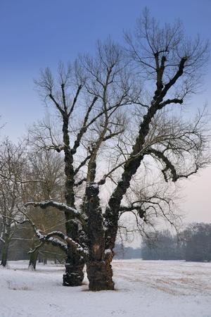 poplars: snow landscape