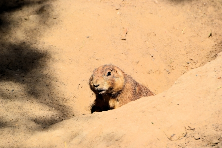 prairie dog Stock Photo - 15880806