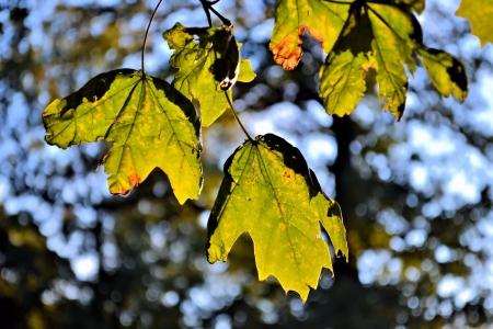 autumn colouring: maple leaf
