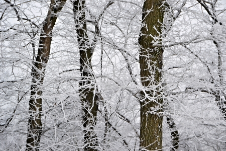 icily: Branches of trees in a forest in winter