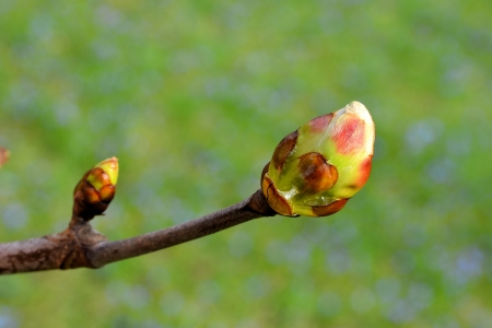 Bud of a chestnut tree in a park in spring Standard-Bild