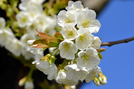 waxes: Blossoms on a cherry tree in spring Stock Photo