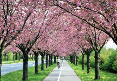flowering cherry trees along a road in the spring