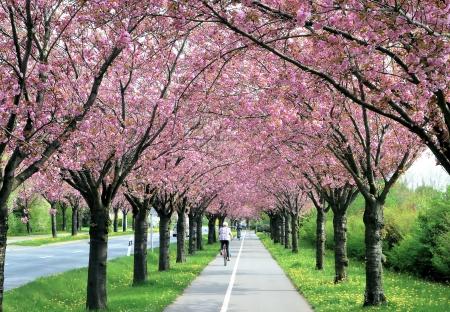 bloeiende kersenbomen langs een weg in het voorjaar