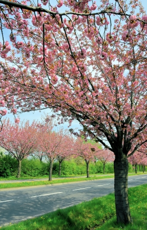 waxes: flowering cherry trees along a road in the spring