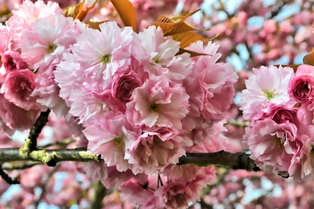 waxes: Blossoms of a cherry tree in spring