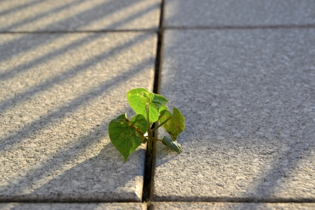 rooted: a plant growing between Pavement tile