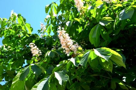 chestnut tree: chestnut Tree