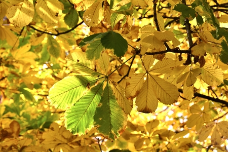 Leaves of a chestnut in autumn Stock Photo