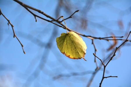 tilia cordata: the last leaf of autumn