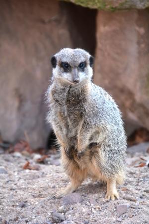 a watchful meerkat in the zoo