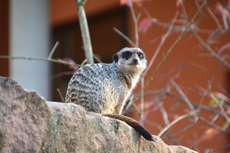 watchfulness: a watchful meerkat in the zoo