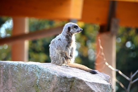 a watchful meerkat in the zoo Stock Photo - 23664083