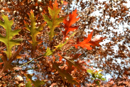 bosk: Leaves of an oak tree with autumn color