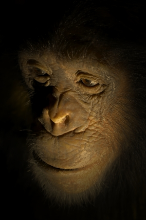 evolutionary: the face of a chimpanzee