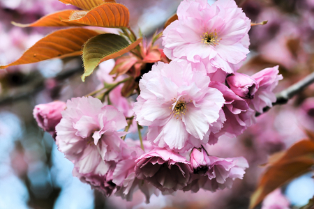 waxes: flowering Cherry Blossoms