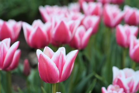 commercially: Tulips in a field in spring