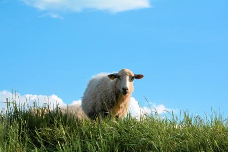 attentiveness: Sheep on a dyke