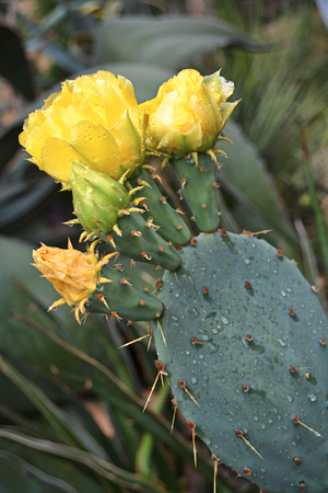 yellow flowering cactus photo