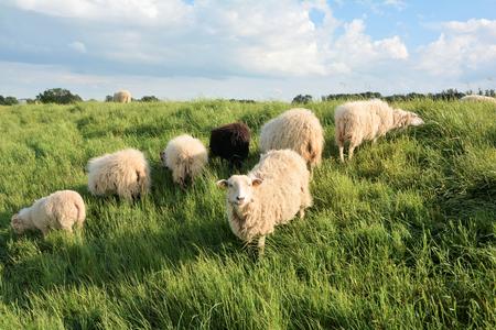 tortillera: ovejas en la hierba verde en un dique en las orillas del Elba