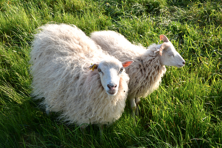 sheeps: sheep in green grass on a dyke on the banks of the Elbe