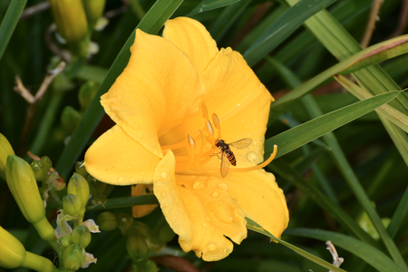 pollinators: Insect on the flower of a lily flower