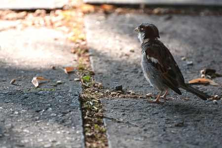 lonesome: a sparrow looking for food in the city