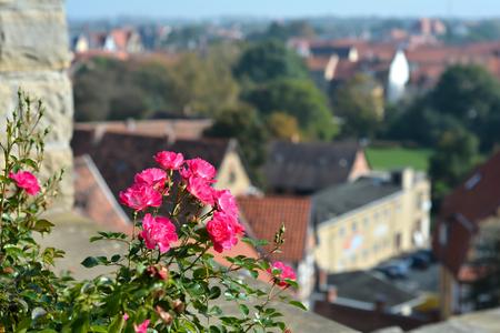 rose-bush: rosebush on the castle hill above the town of Quedlinburg