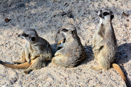 civet cat: Meerkats sitting in the sand in a zoo